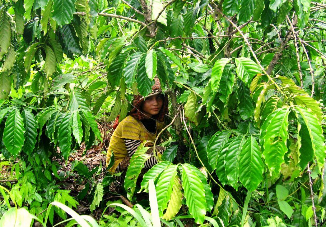benefici in polvere del chicco di caffè verde