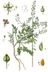 maca-peruviana